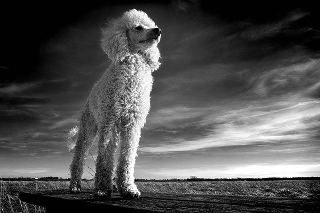 the-poodle-3414131_640